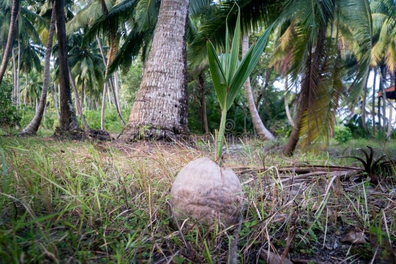 noix de coco poussée dans une palmeraie photo libre de droits
