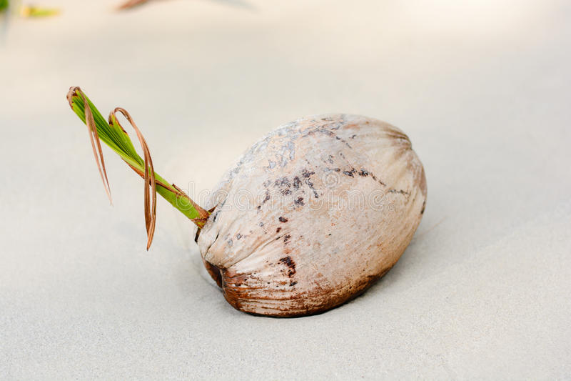 Noix de coco sèche, sur la plage photo libre de droits