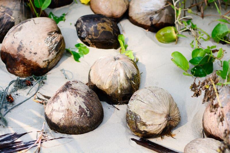 Noix de coco sèche, sur la plage photos libres de droits