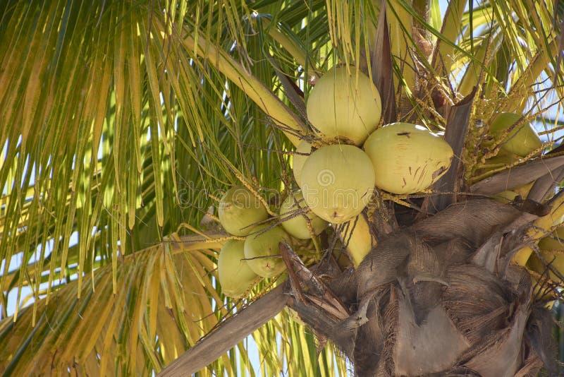 Noix de coco sur la paume photos libres de droits