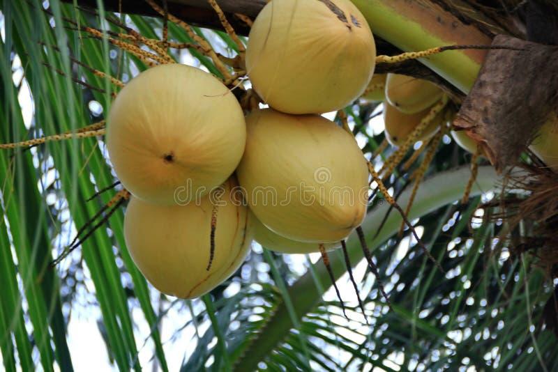 Noix de coco sur un arbre image libre de droits