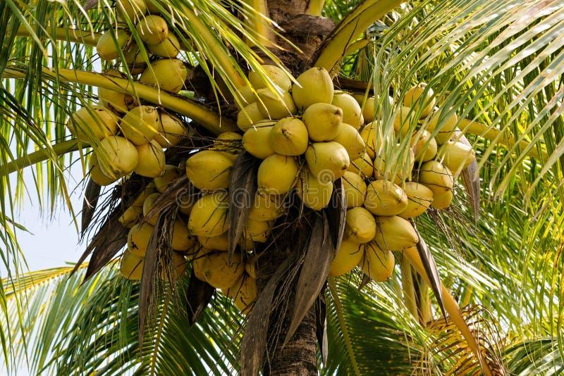Noix de coco sur un cocotier photos libres de droits