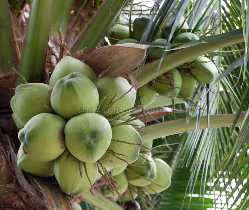 Noix de coco verte images libres de droits
