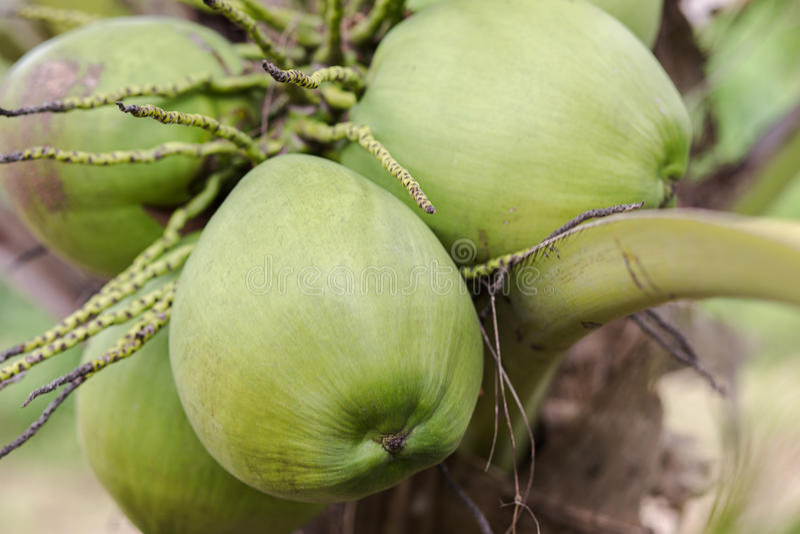Noix de coco verte sur l'arbre photographie stock libre de droits