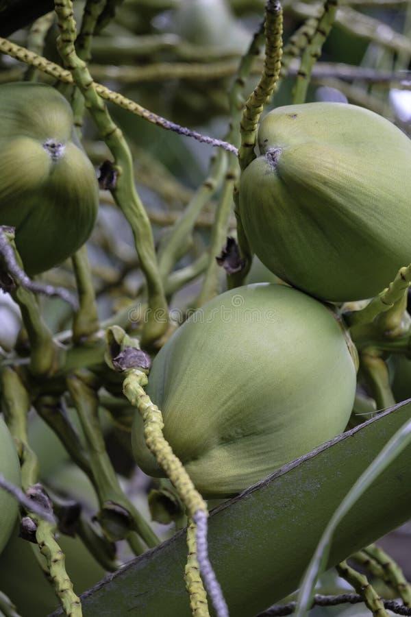 Noix de coco vertes accrochant sur une paume photos stock
