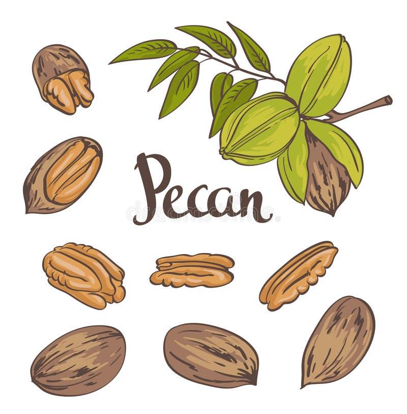 Noix de pécan vertes avec des feuilles et noix de pécan sèches d'isolement sur un fond blanc illustration stock