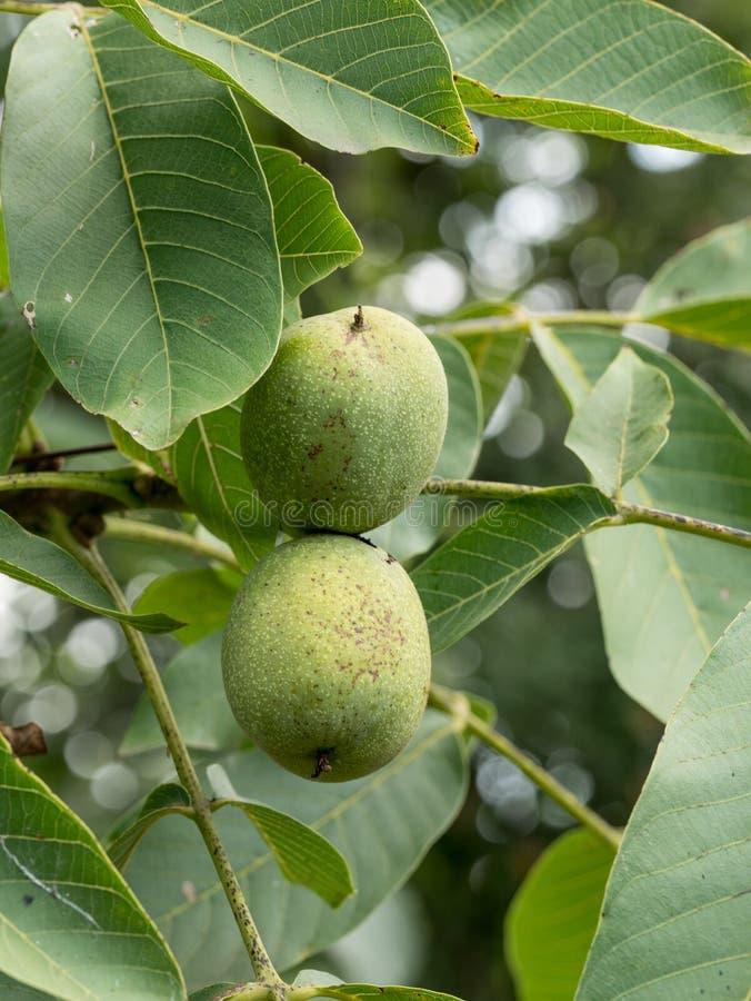 Noix verte grandissant sur une fin d'arbre images stock