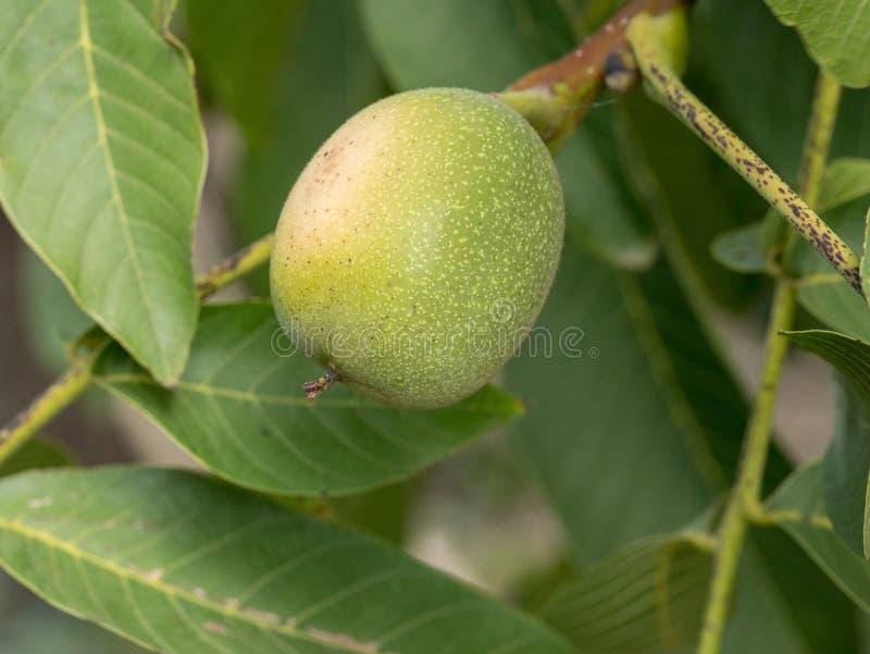 Noix verte grandissant sur une fin d'arbre photographie stock libre de droits