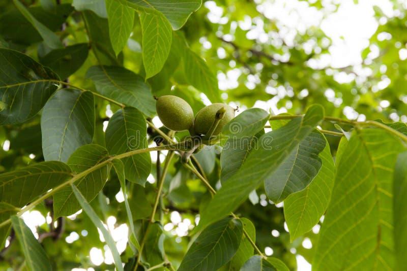 Noix verte sur un arbre photo stock