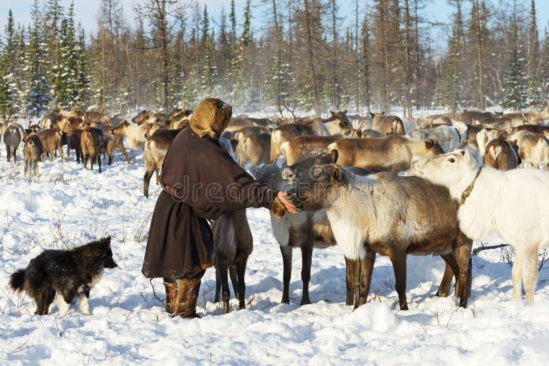 Nomad reindeer herder gives salt to his reindeer. stock image