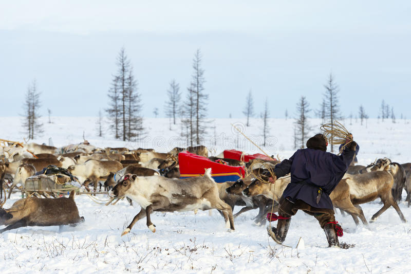 Nomad shepherd catches reindeer by lasso during migration. Yamal Peninsula, Siberia royalty free stock photography