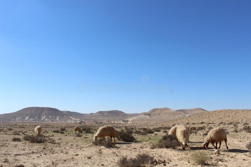 Nomade sheeps in het nationale park van Ein avdat in Israël royalty-vrije stock foto's