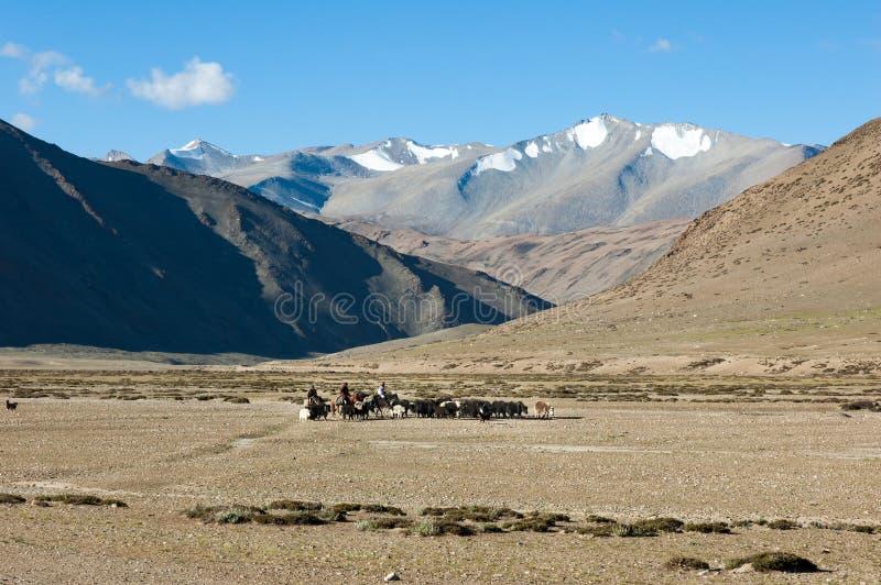 Nomades tibétains voyageant avec des hourses et des yaks Montagne de Ladakh photographie stock libre de droits