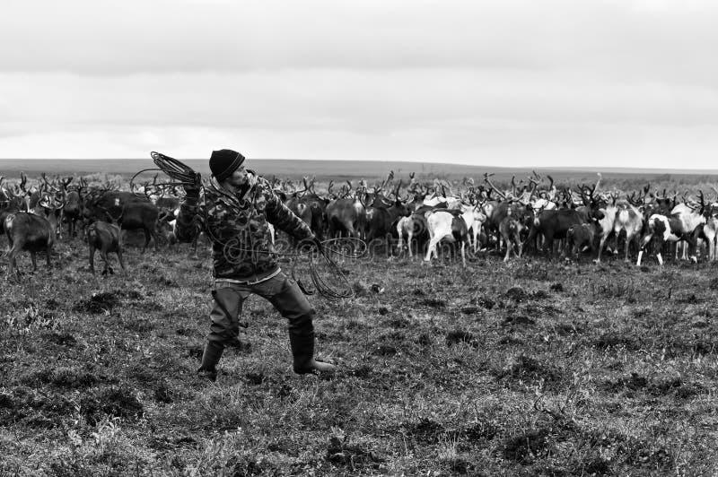 Nomadeschäfer fängt Ren durch Lasso während der Migration lizenzfreie stockfotografie