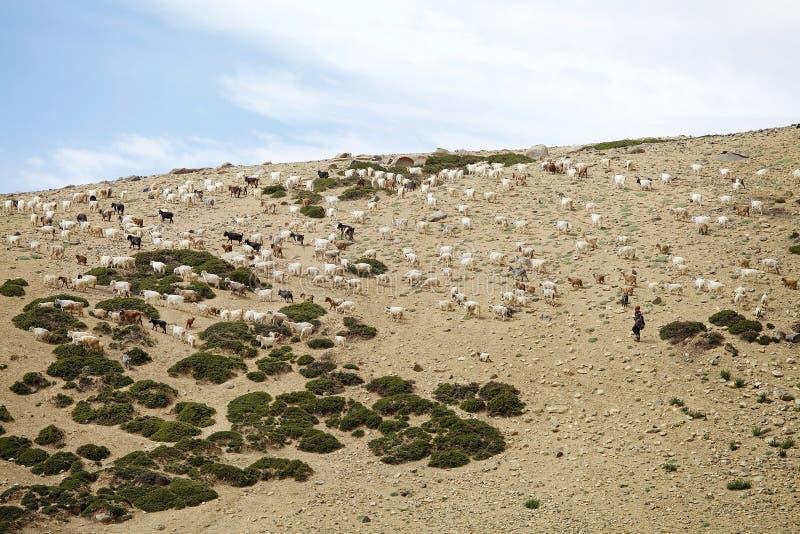 Nomadeschäfer in Ladakh, Indien stockbild