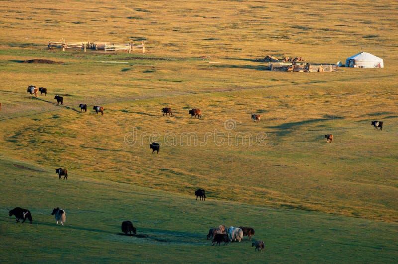 Nomadhuset i Mongoliet och boskap royaltyfri fotografi