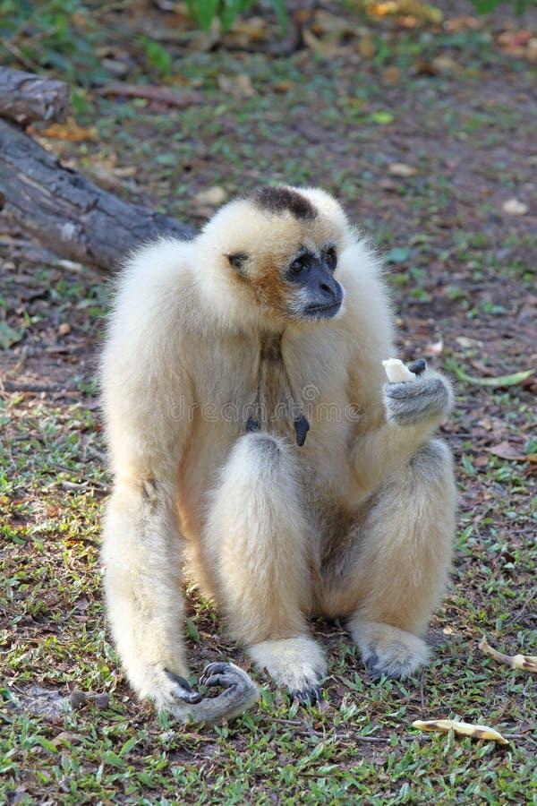 Nomascus concolor Żeński biały Gibbon trzyma banana obrazy stock