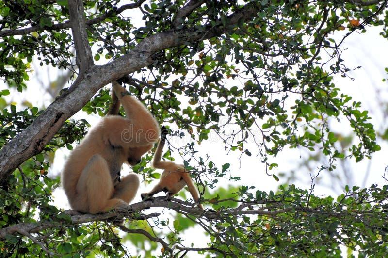 Nomascus, Gibbon novo e mãe foto de stock