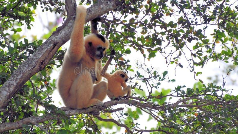 Nomascus, macaco novo de Gibbon e mãe fotografia de stock royalty free