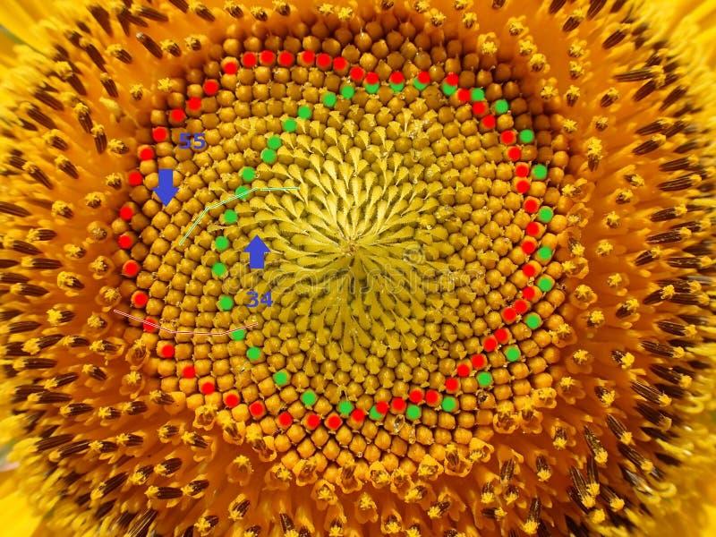 Nombres de Fibonacci de spirales de graine de tournesol photo libre de droits