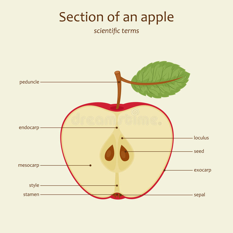Nombres de piezas de Apple, vector libre illustration