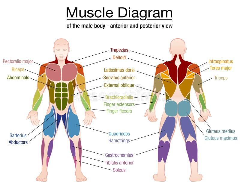 Nombres del cuerpo masculino del diagrama del músculo stock de ilustración