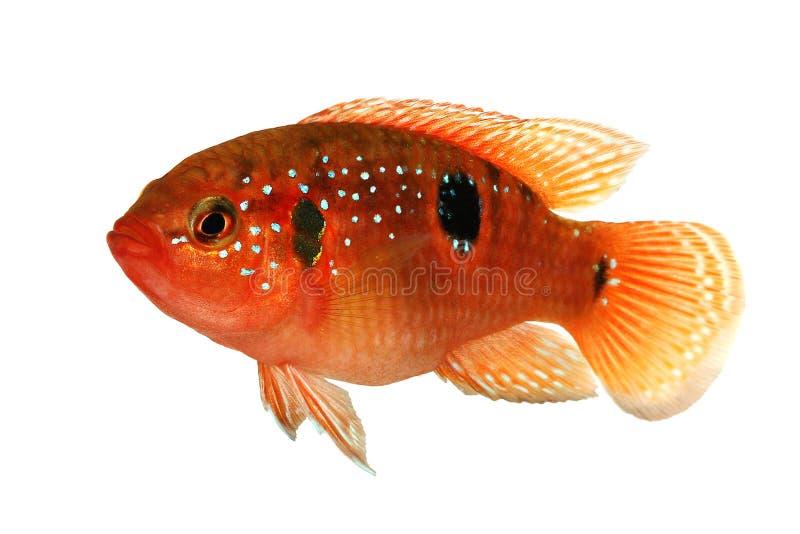 Nome de arquivo da informação: Peixes do aquário do bimaculatus de Hemichromis da cichlidae da joia fotos de stock