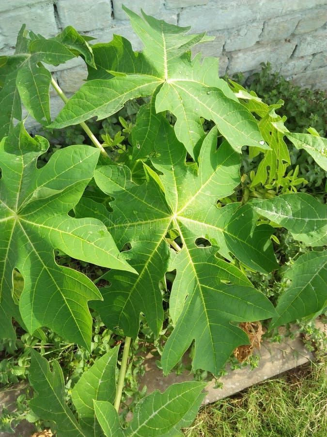 NOME DO BINOMIAL DA PLANTA DA PAPAIA; CARICA PAPAIA foto de stock
