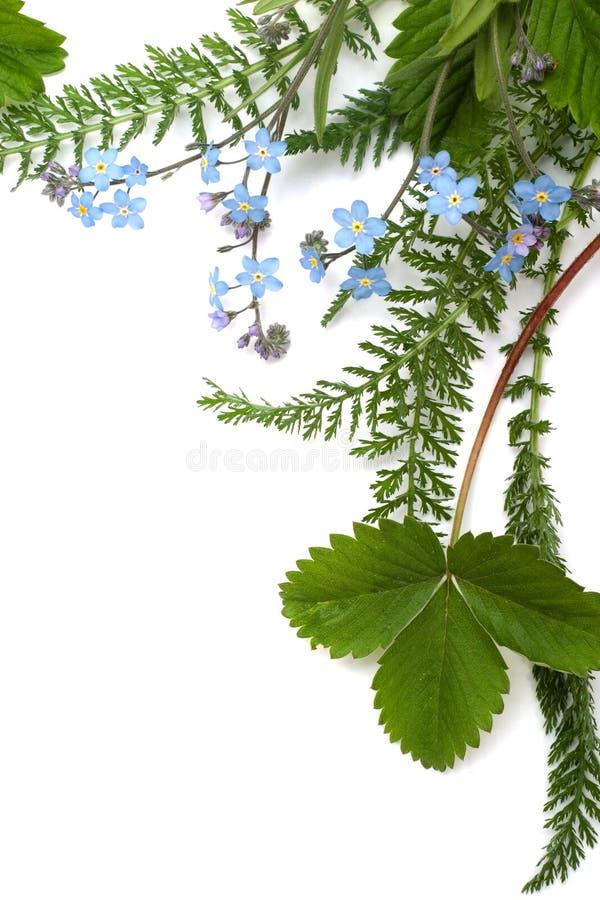 Nomeolvides (ornamento floral fotografía de archivo libre de regalías