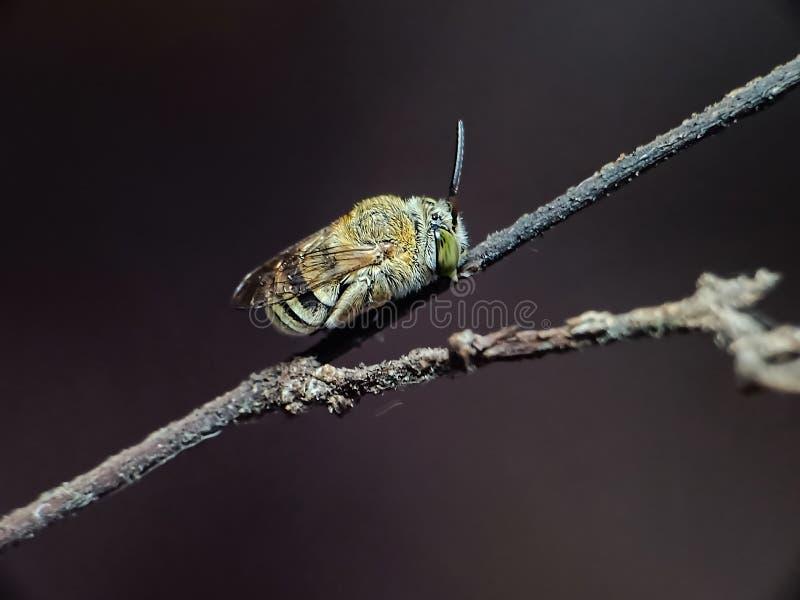 Nomia är genus av kosmopolitan hos bisvett i familjen haltidida arkivbilder