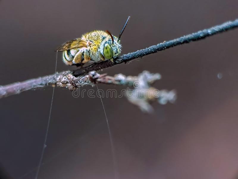 Nomia är genus av kosmopolitan hos bisvett i familjen haltidida fotografering för bildbyråer