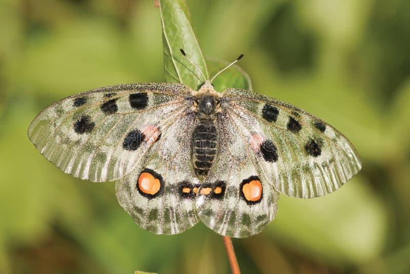 nomion πεταλούδων στοκ φωτογραφία με δικαίωμα ελεύθερης χρήσης