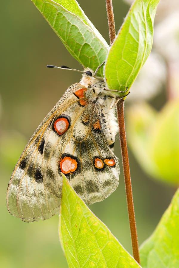 nomion πεταλούδων στοκ εικόνα με δικαίωμα ελεύθερης χρήσης
