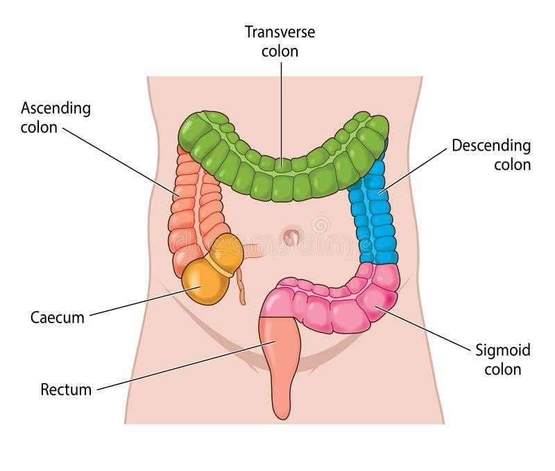 Nomme des secteurs du gros intestin illustration stock