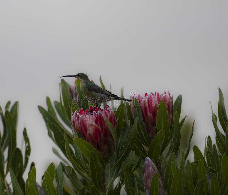Non breeding malachite sunbird Nectarinia famosa looking left. Sitting on pink protea flower. South Africa royalty free stock photography