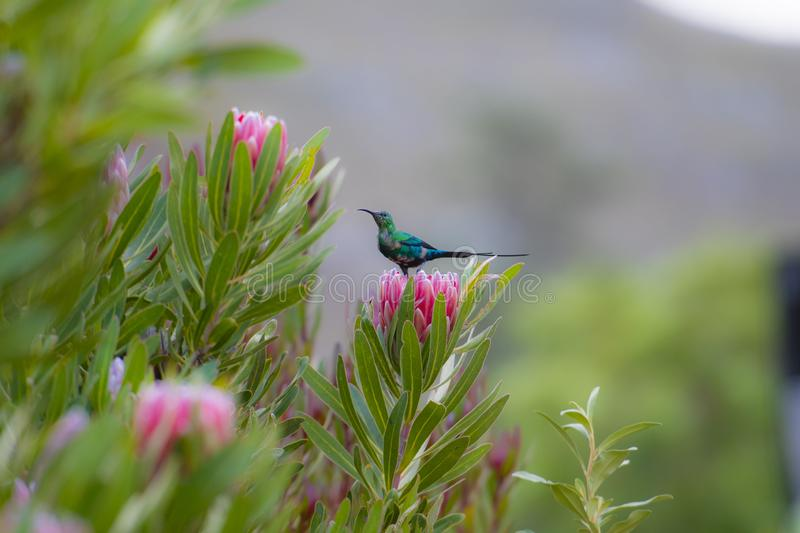 Non breeding malachite sunbird Nectarinia famosa looking left, sitting on pink protea flower. With blurred background. South Africa stock photos