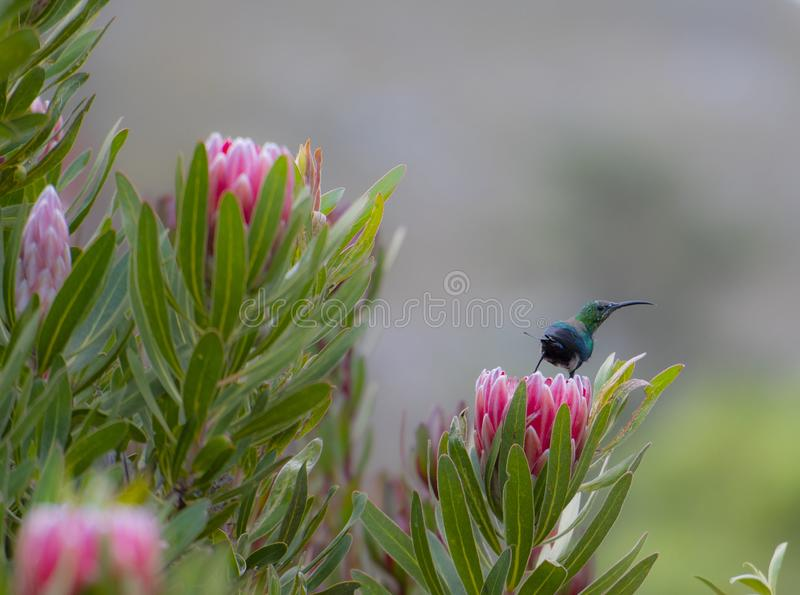 Non breeding malachite sunbird Nectarinia famosa looking right. Sitting on pink protea flower, with back to camera. South Africa royalty free stock photos