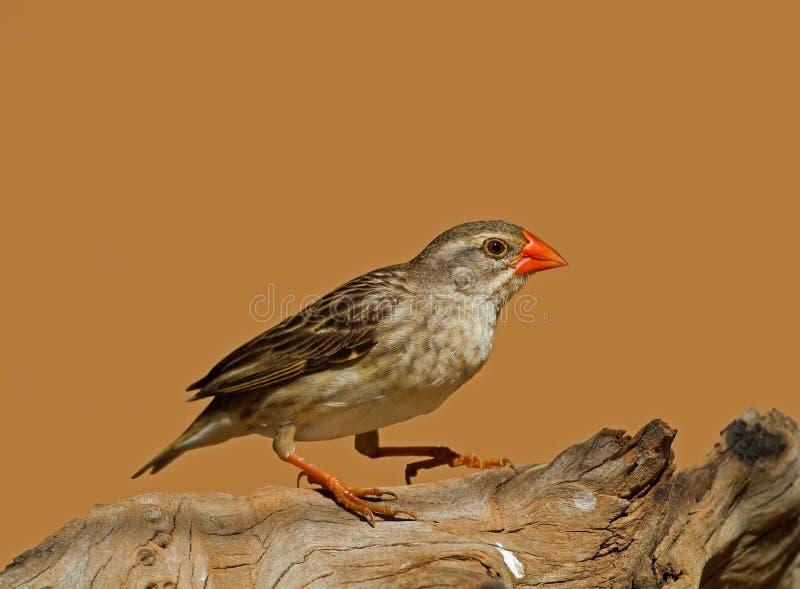 Non-breeding Wijfje rood-Gefactureerde Quelea royalty-vrije stock afbeeldingen