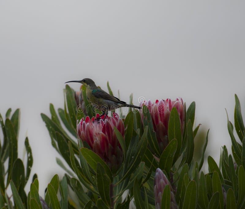 Non multiplication du famosa de Nectarinia de sunbird de malachite regardant la gauche photographie stock libre de droits
