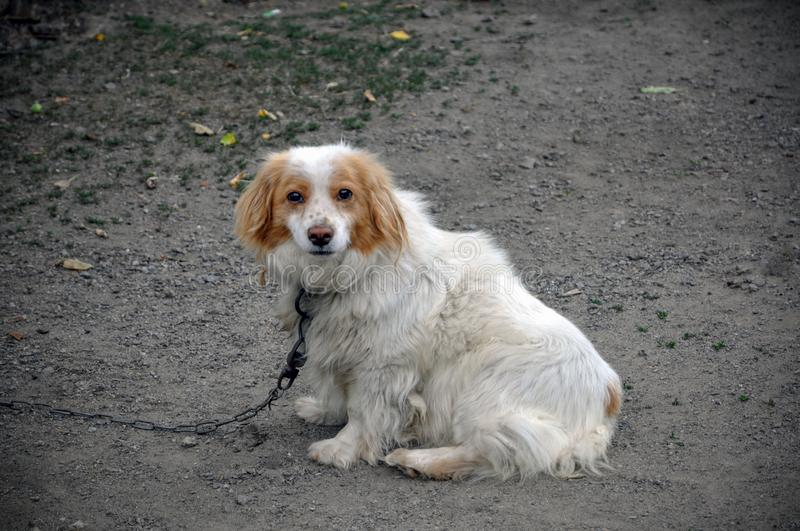 A non-purebred dog on a chain. The dog is white with a brown color. Guard dog royalty free stock photo