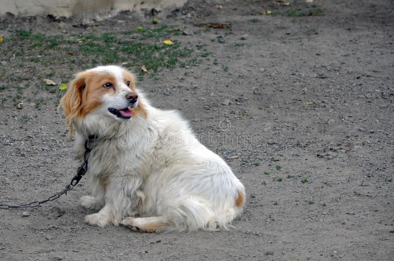 A non-purebred dog on a chain. The dog is white with a brown color. Guard dog royalty free stock image
