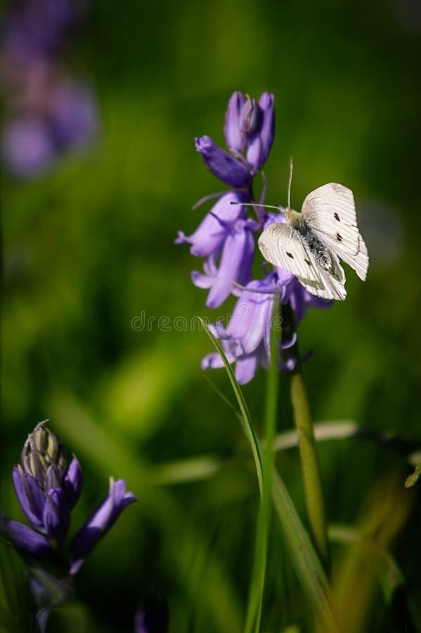 Non-scripta Hyacinthoides и rapae Pieris стоковые изображения