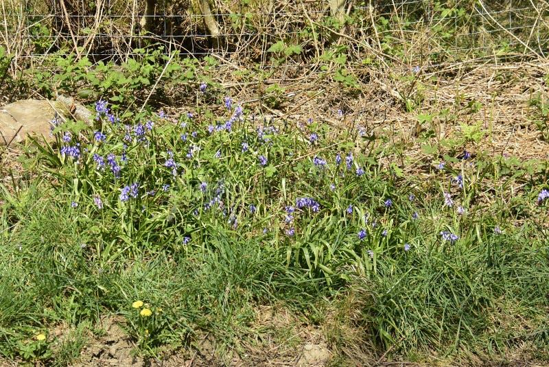 Non-scripta Hyacinthoides Bluebells стоковые фото