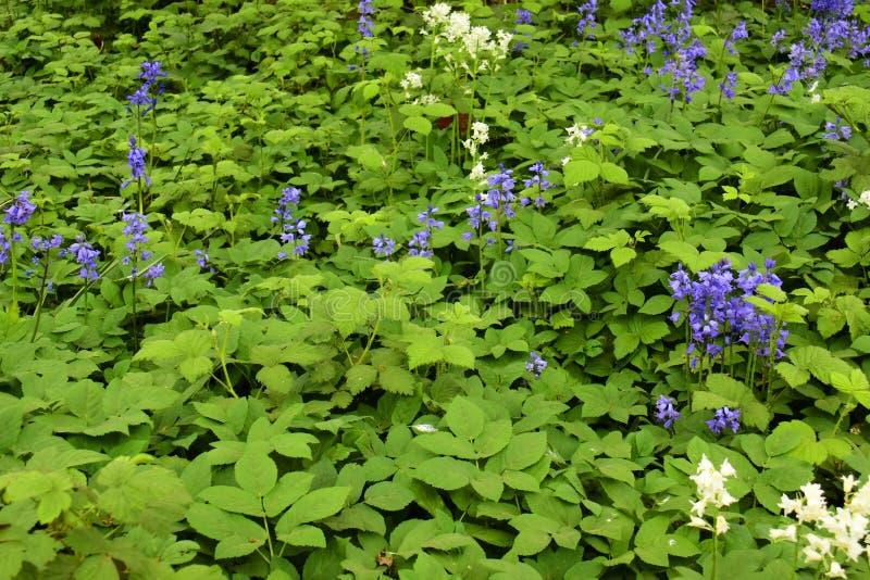Non-scripta Hyacinthoides Bluebells стоковые изображения