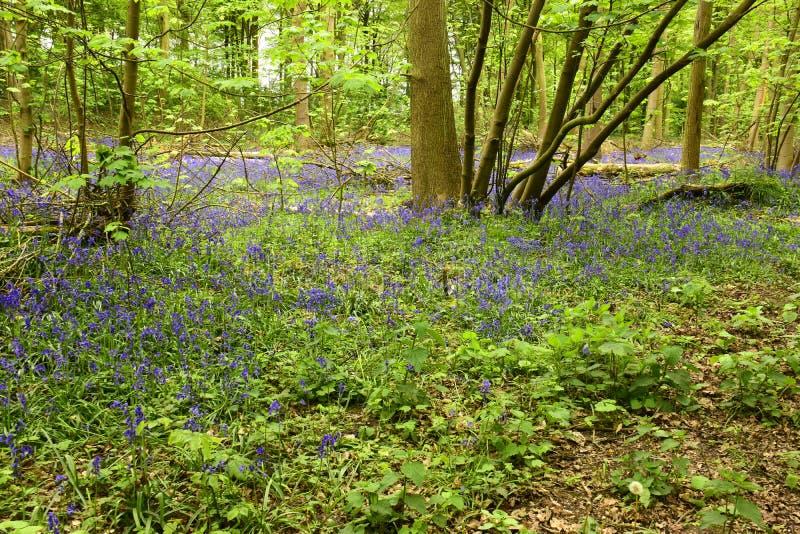 Non-scripta Hyacinthoides Bluebells стоковая фотография
