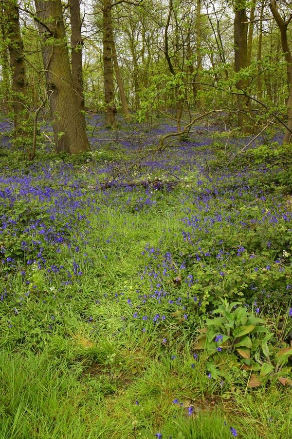 Non-scripta Hyacinthoides Bluebells стоковое фото