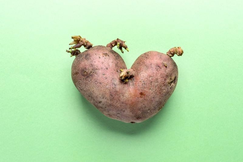 Non-standard ugly heart-shaped one potato on green background. Non-standard ugly heart-shaped one potato with sprouts in center of green background. Waste zero stock photos