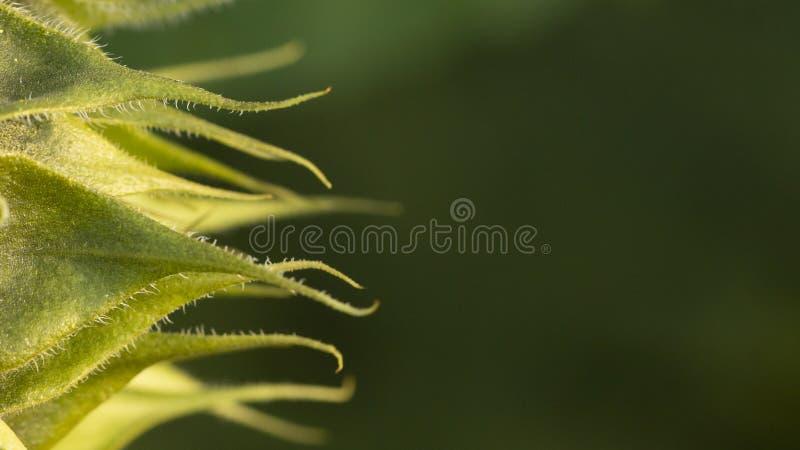 Non un fiore completamente aperto del girasole Profondit? del campo poco profonda fotografia stock libera da diritti