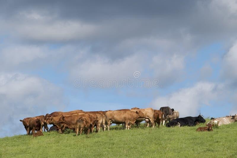 Download 牛 库存图片. 图片 包括有 种田, 农村, 汉堡, 牛排, 横向, 操舵, 干酪, browne, 母牛, 国家(地区) - 175853