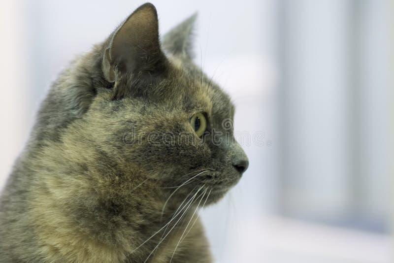 Download 猫 库存图片. 图片 包括有 奶油, 似猫, 狩猎, 灰色, 敌意, 发烟性, 配置文件, 国内 - 22357521